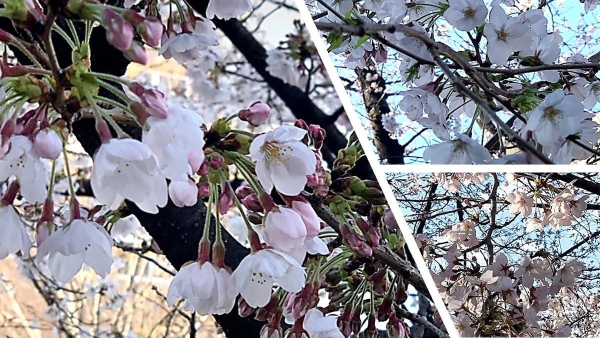 2019桜.jpg
